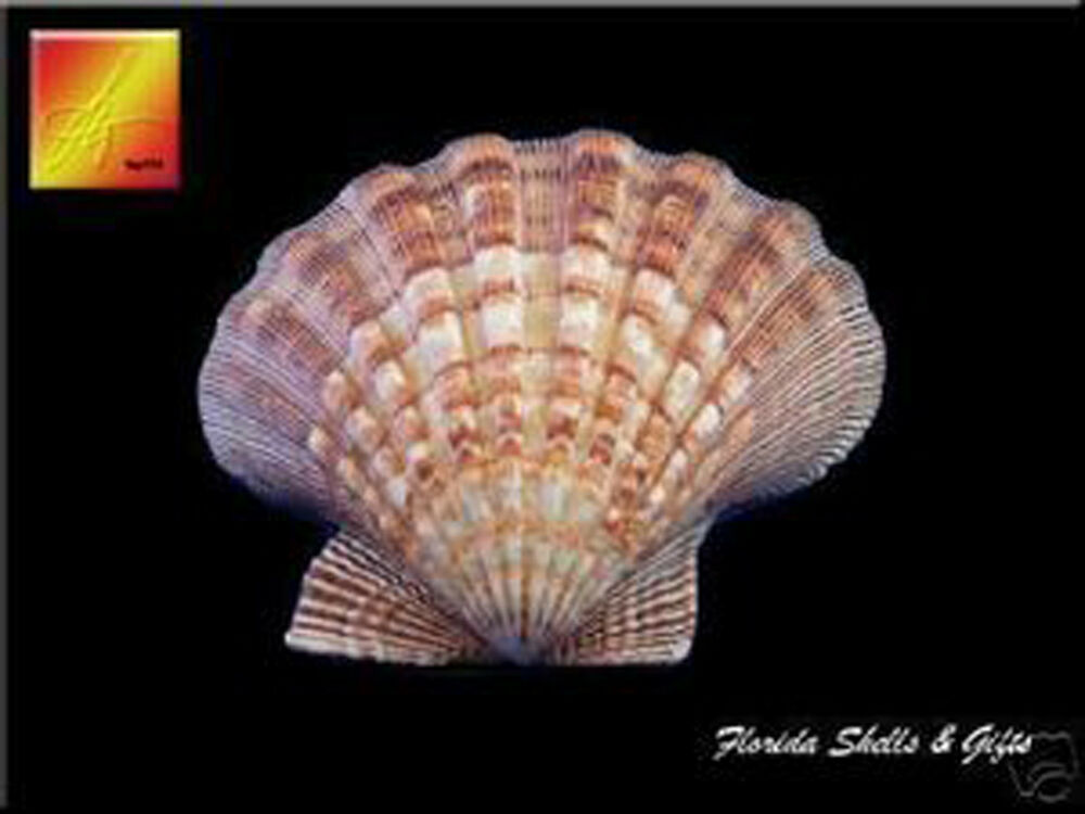 4 large lions paw scallops 5 6 seashells for baking for Large seashells for crafts