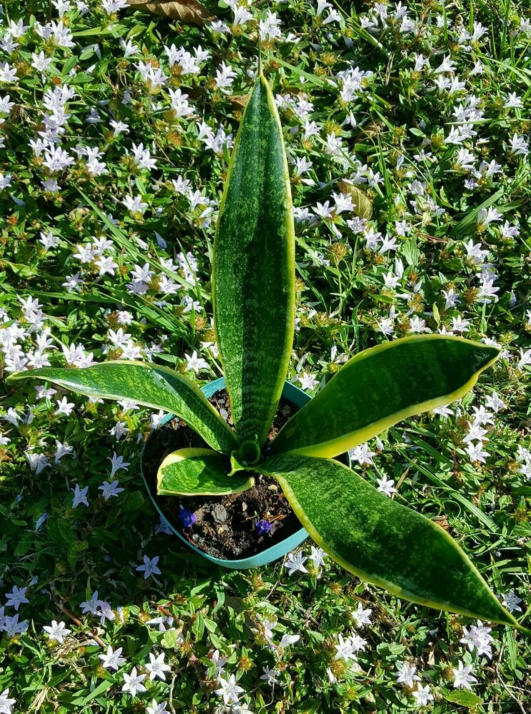 Sansevieria trifasciata snake plant mother in law 39 s tongue for Buy air purifying plants