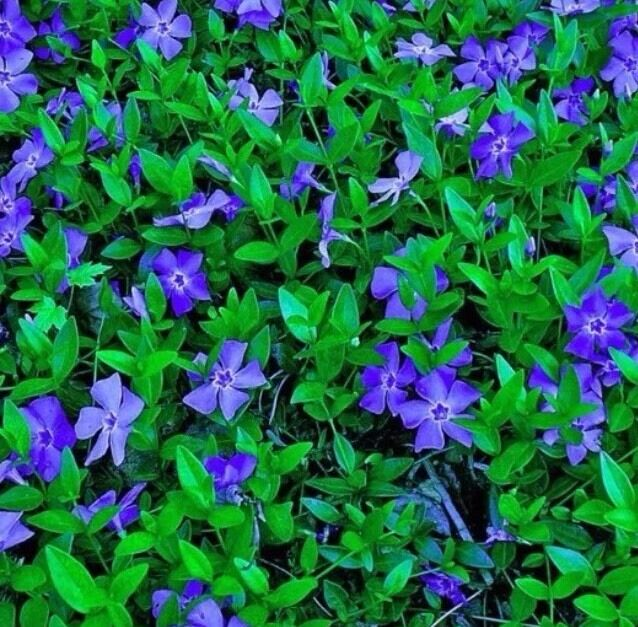fresh rooted blue periwinkle vinca minor ground cover. Black Bedroom Furniture Sets. Home Design Ideas
