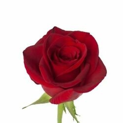 Kyпить Fresh Red Roses,125 stem floral decor for wedding or events, fundraiser or gift на еВаy.соm