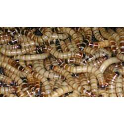 Kyпить LIVE SUPERWORMS (Various Counts) FREE SHIPPING на еВаy.соm