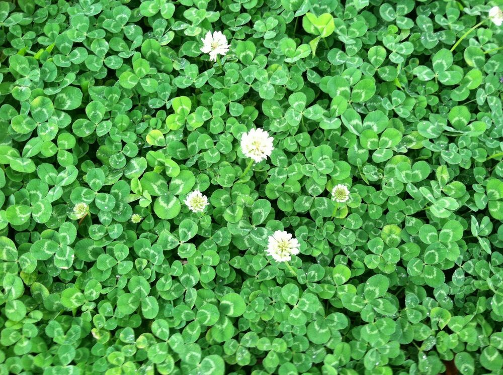 Two common clovers | Identify that Plant |White Clover Plant