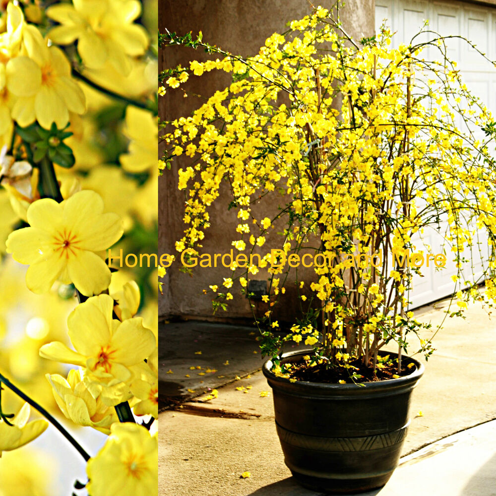 chinese yellow flowers winter jasmine jasminum nudiflorum rooted plant rare ebay. Black Bedroom Furniture Sets. Home Design Ideas