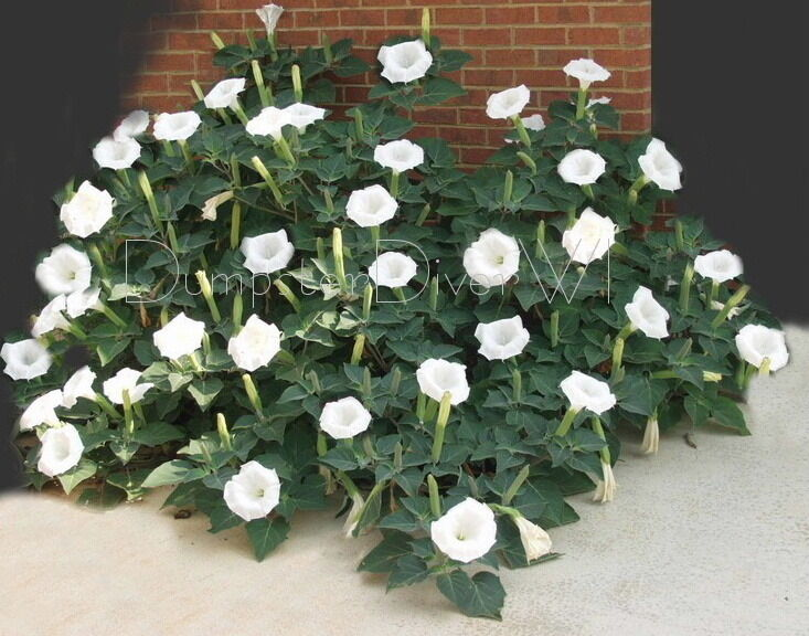 Datura Angel Trumped Moon Flower White Thorn Le 100 Seeds Frag Blooms Ebay