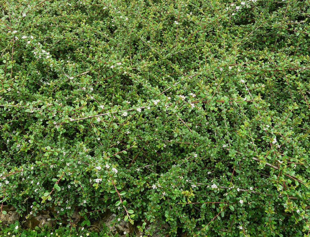 bodendecker cotoneaster dammeri radicans immergr n ebay. Black Bedroom Furniture Sets. Home Design Ideas