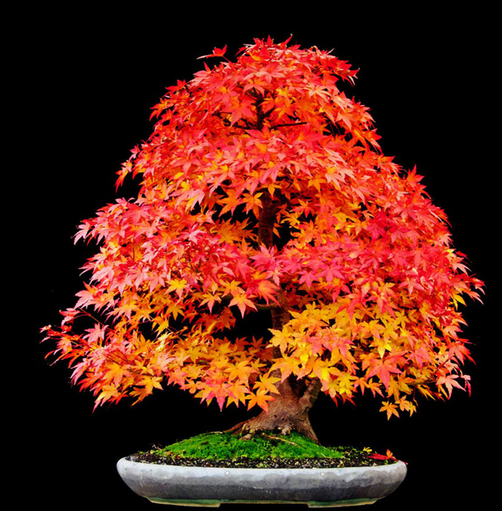 Red japanese maple acer rubrum red sunset landscaping for Japanese maple tree