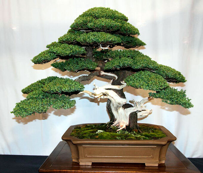 Common Juniper (Juniperus communis) *10 Bonsai Tree Seeds ...