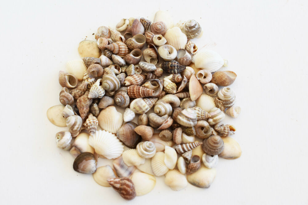 400 tiny indian ocean micro shells 1 4 5 8 size beach for Tiny shells for crafts