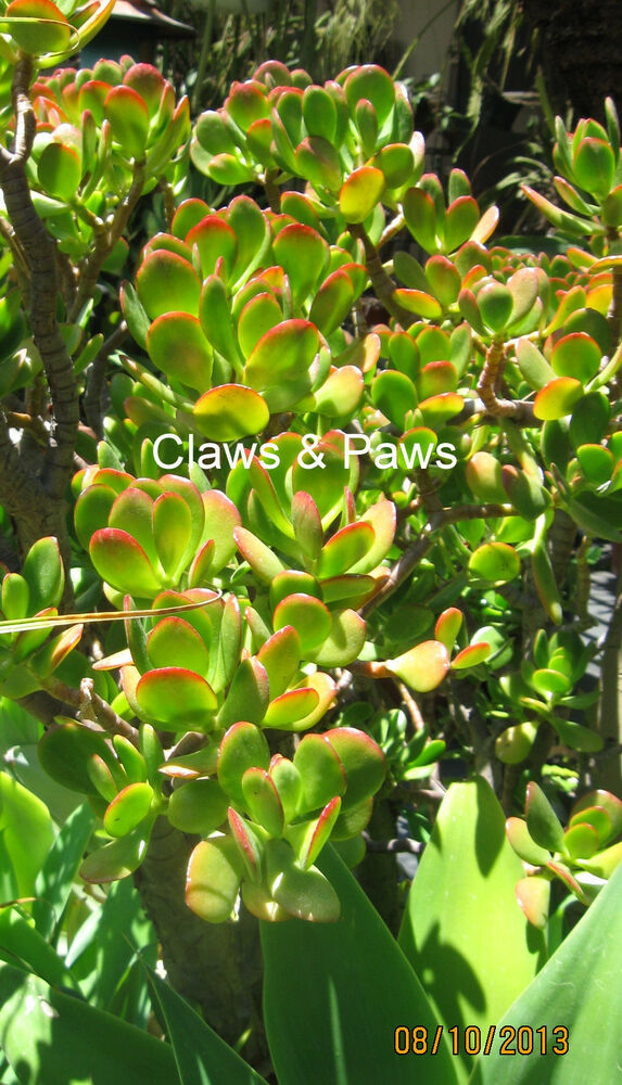feng shui money plant crassula ovata succulent jade plant cutting ebay. Black Bedroom Furniture Sets. Home Design Ideas