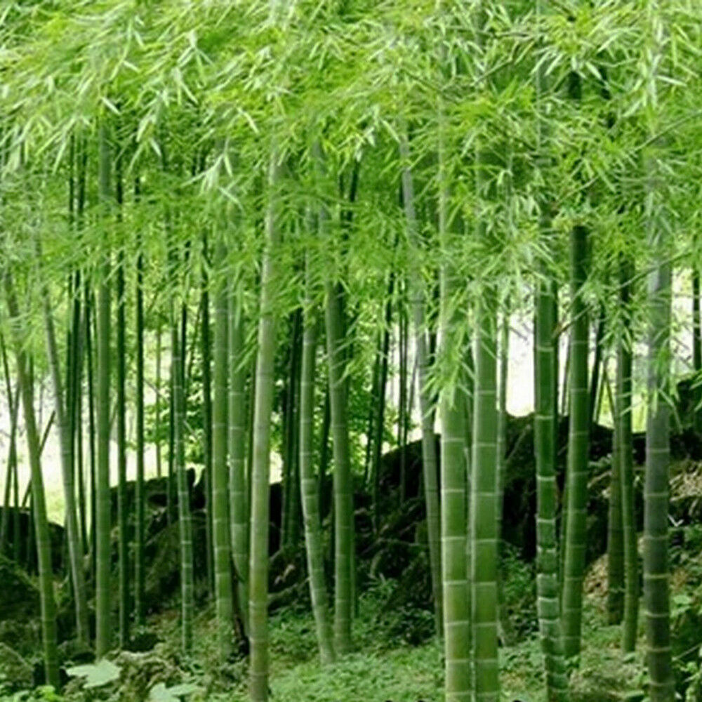 Lots 100pcs seeds phyllostachys pubescens moso bamboo for Moso bamboo prezzi