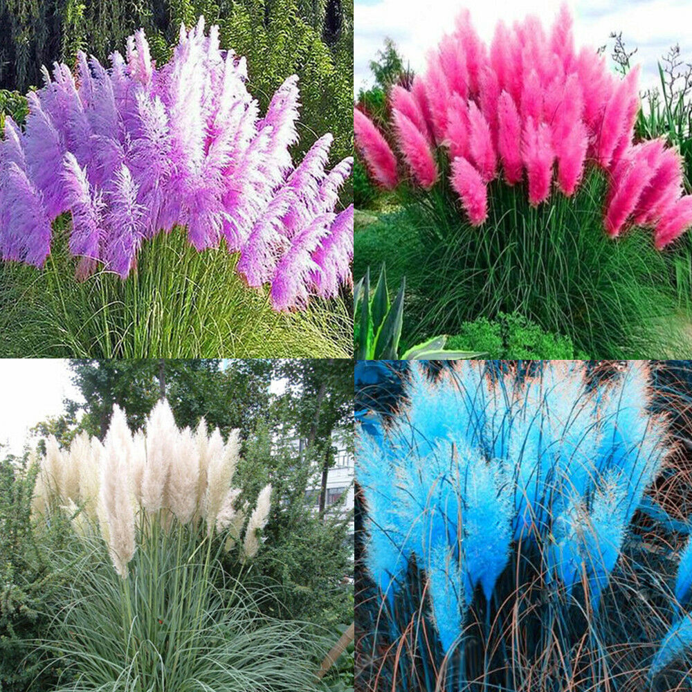 500 2000 pampas ornamental seeds bonsai garden plant for Coloured ornamental grasses