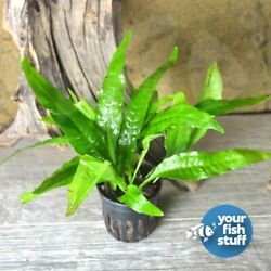 Kyпить Java Fern Microsorum pteropus Potted Live Aquarium Plant **Buy 1 Get 1 50% OFF** на еВаy.соm