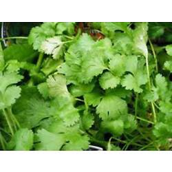 Kyпить CILANTRO SEED, SLOW BOLT, HEIRLOOM, ORGANIC 25+ SEEDS, NON GMO, GREAT HERB/SPICE на еВаy.соm