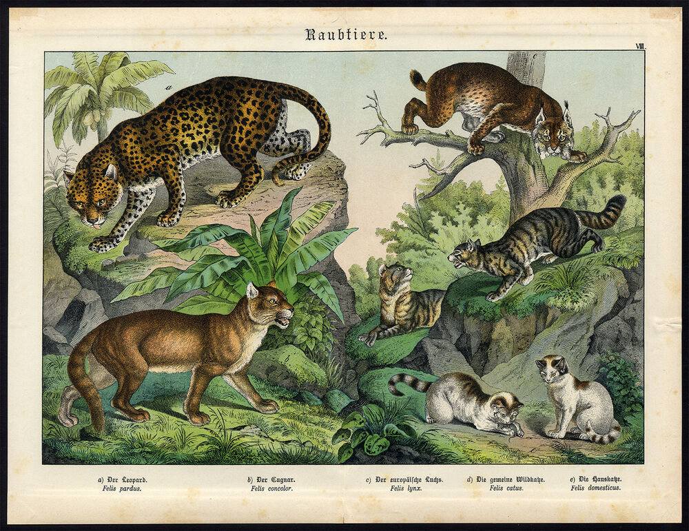 1d2d49138b701 Details about Antique Print-LEOPARD-COUGAR-LYNX-CAT-Schubert-1878