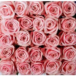 Fresh Cut Pink Roses / 100 stems / 20'' tall / Grower Direct / Quality Guaranteed