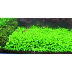 Kyпить *BUY 2 GET 1 FREE* Micranthemum Monte Carlo Easy Carpet Live Aquarium Plant ✅ на еВаy.соm