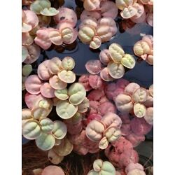 Kyпить *BUY 2 GET 1 FREE* 10 Red Root Floaters Phyllanthus Fluitans Floating Plant ✅ на еВаy.соm
