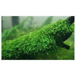 Kyпить *BUY 2 GET 1 FREE* Java Moss Taxiphyllum Barbieri Easy Live Aquarium Plants ✅ на еВаy.соm