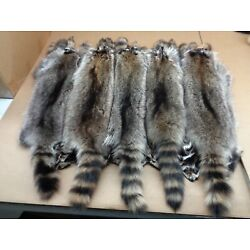 Professionally Tanned #1 Large Iowa Raccoon/Coon Hide/Furs/Taxidermy/Crafts