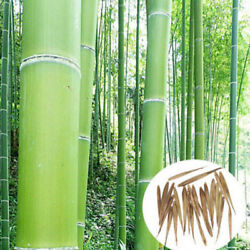Giant Moso-Bamboo Seeds Privacy Climbing Garden Clumping Seeds Plants
