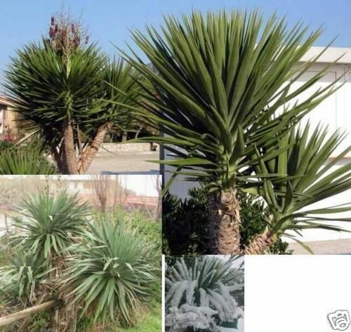 yucca aloifolia sch nste winterharte stamm yucca samen ebay. Black Bedroom Furniture Sets. Home Design Ideas