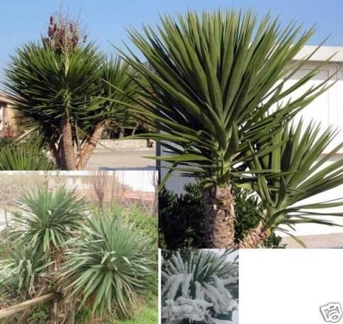 tolle yucca palme mit imposantem stamm yucca aloifolia winterhart samen ebay. Black Bedroom Furniture Sets. Home Design Ideas