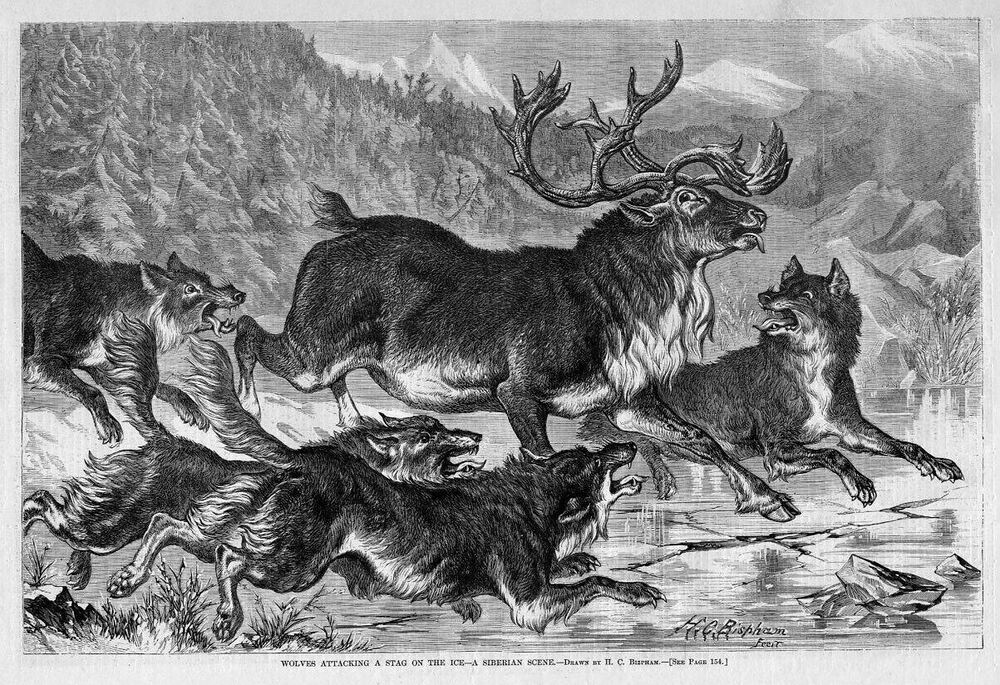 WOLVES ATTACKING DEER STAG ON THE ICE, PACK OF WOLVES ...