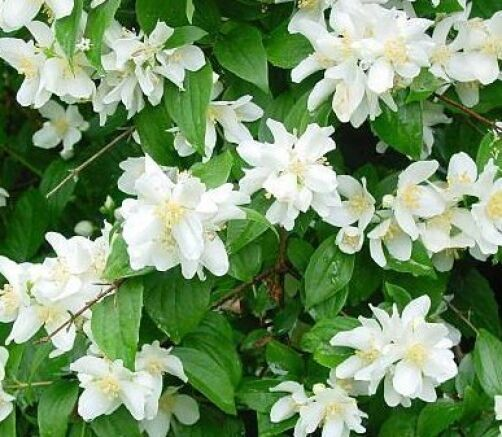 Philadelphus Coronarius Sweet Mock Orange Garden