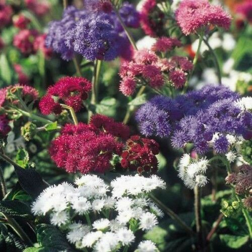Cool Weather Wedding Flowers: Floss Flower Hawaii Mix Seeds Annual Tolerates Hot Humid