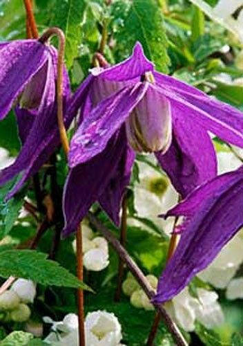 clematis alpina 10 seeds ebay. Black Bedroom Furniture Sets. Home Design Ideas