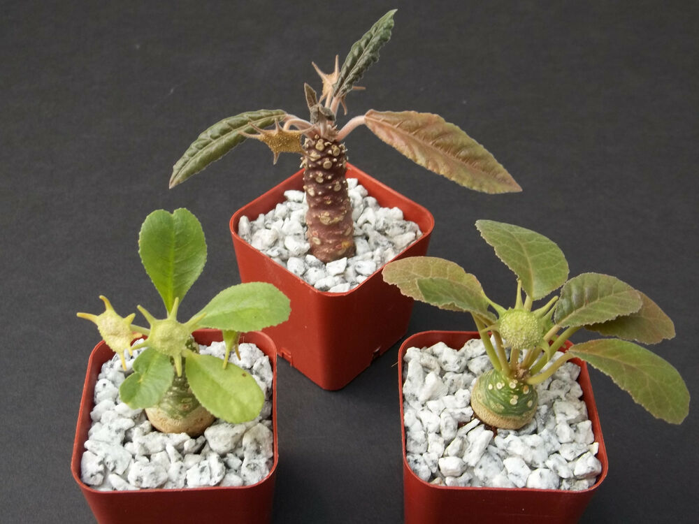 Dorstenia collection variety mix exotic bonsai africa for Rare bonsai species