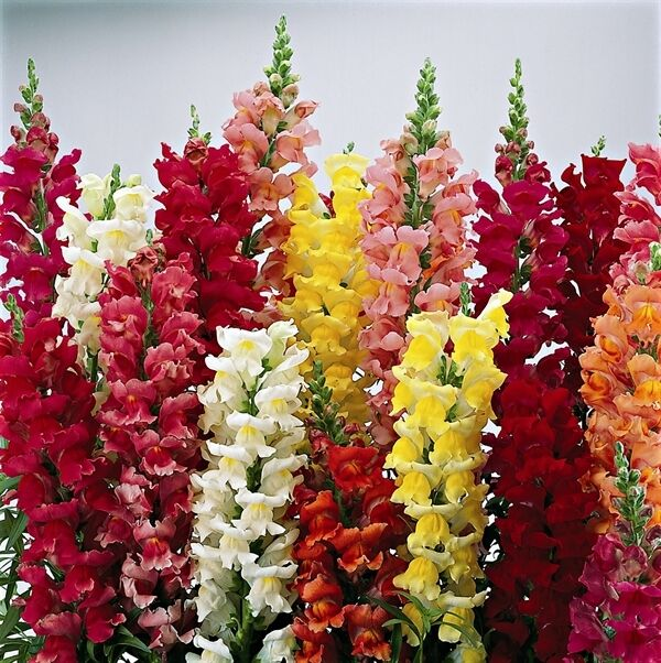 snapdragon snapshot mix seed frost tolerant cut flower low. Black Bedroom Furniture Sets. Home Design Ideas