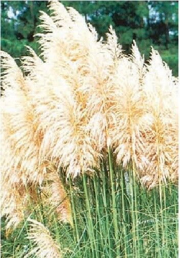 Ornamental grass cortaderia selloana white feather for Tall feather grass