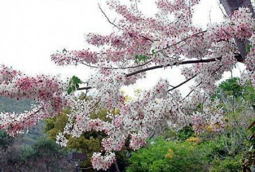 Cassia Bakeriana Or Pink Shower Tree 10 Seeds Ebay