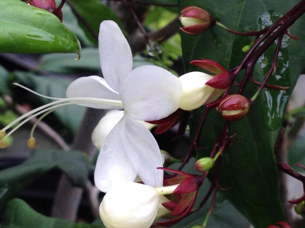 Clerodendrum light bulbs plant unique unusual buds white for Which of these is unique to flowering plants