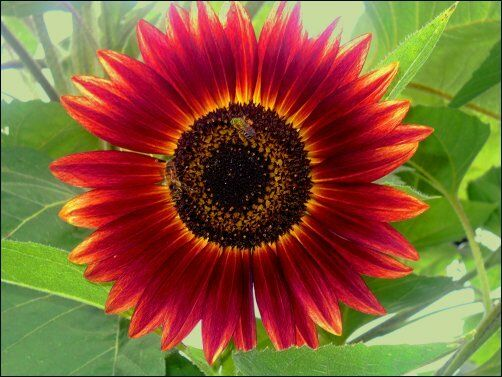 RED SUN VARIETY SUNFLOWER SEEDS * 6 FT. * DEEP RED COLOR ...