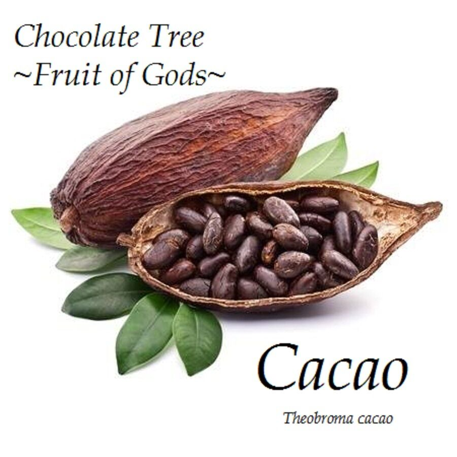 Fruit Of Gods Chocolate Tree Theobroma Cacao Cocoa Small
