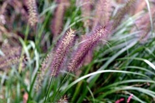Perennial hardy purple pennisetum fountain grass 100 seeds for Hardy ornamental grasses