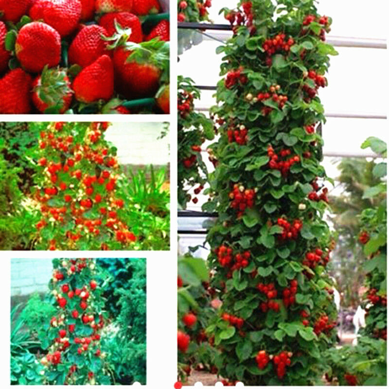 100pcs red strawberry seeds climbing home garden fruit for Plants for outdoor garden