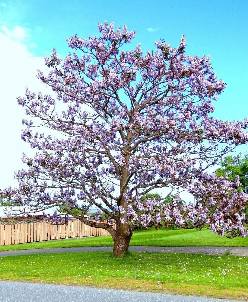 Paulownia Elongata Exotic Royal Empress Flowering Tree