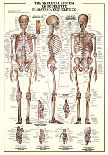 the skeletal system human body anatomy huge wall chart
