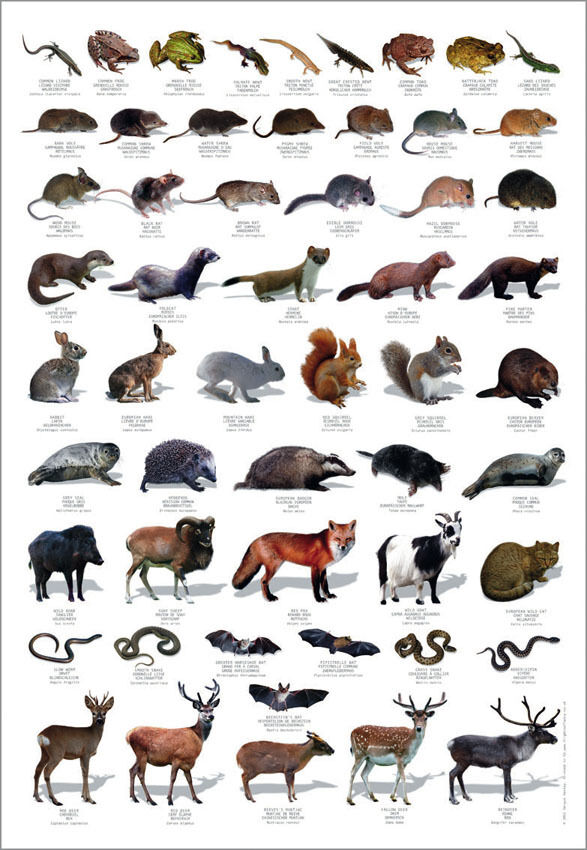 british wildlife wild animals mammals reptiles identification chart poster new ebay. Black Bedroom Furniture Sets. Home Design Ideas