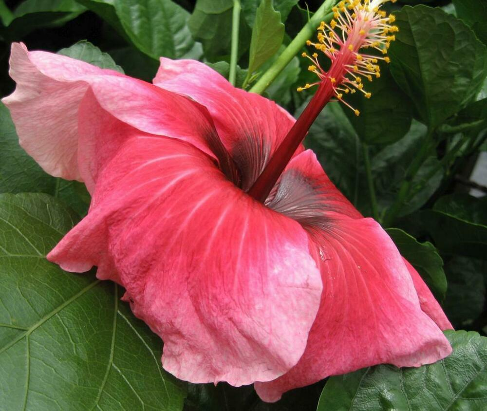 Lovebite Fancy Tropical Hibiscus Plant Large Single Coral Rose Pink