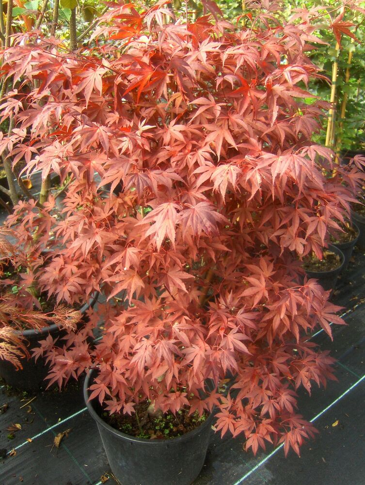 acer palmatum fireglow japanischer roter f cherahorn 80. Black Bedroom Furniture Sets. Home Design Ideas