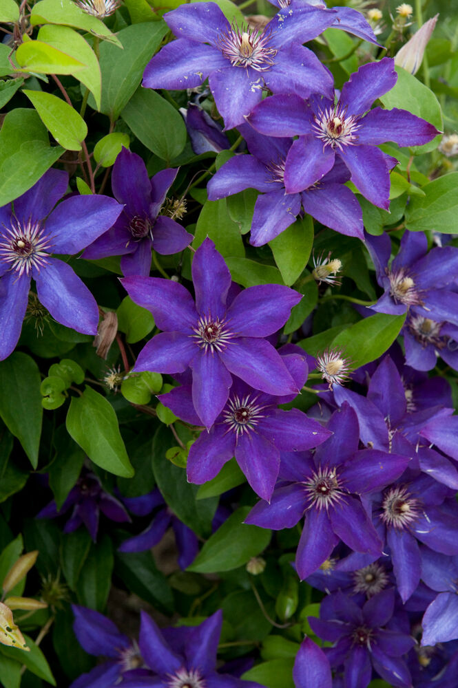 clematis the president blue flowers perennial vine plant ebay. Black Bedroom Furniture Sets. Home Design Ideas