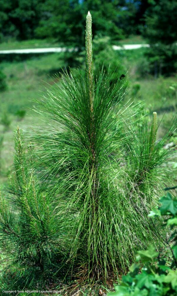 Pinus palustris LONGLEAF PINE TREE Seeds! | eBay