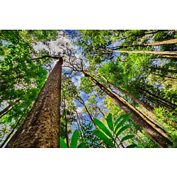 Rainforest Amazon Trees Upwards Sky View Art Poster 24x36 inches