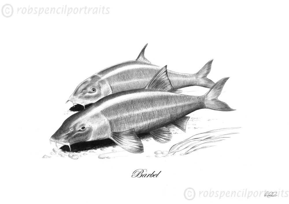 barbel barbus barbus pencil drawing art print less than