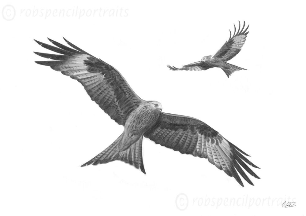 RED KITES Birds Of Prey Art Pencil Drawing Print Picture A4 | EBay
