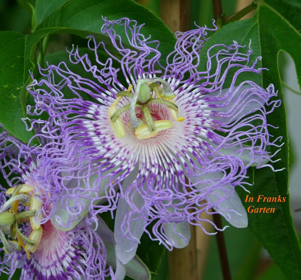 passiflora incarnata passionsblume essbare fr chte winterhart 5 samen ebay. Black Bedroom Furniture Sets. Home Design Ideas